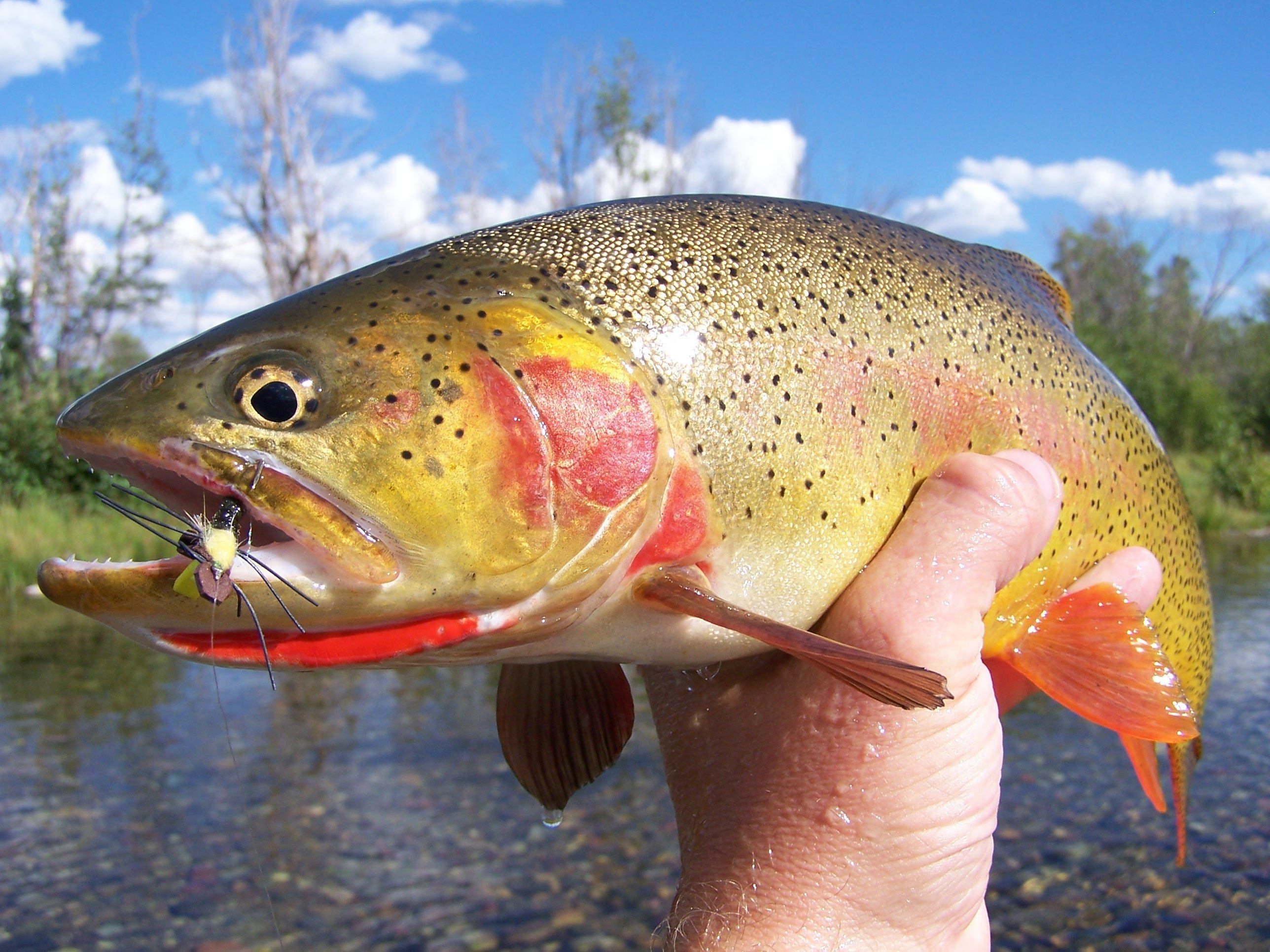 Crescent H ranch Cutthroat trout and Fly