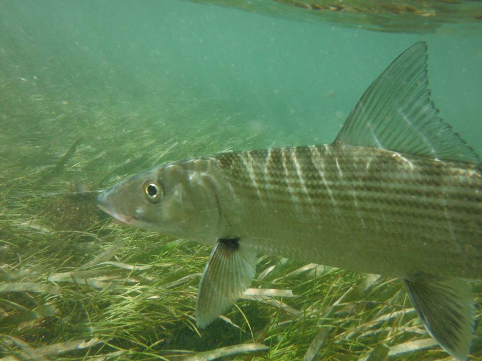Mexican Bonefish - Salt Water Fly Fishing in Mexico