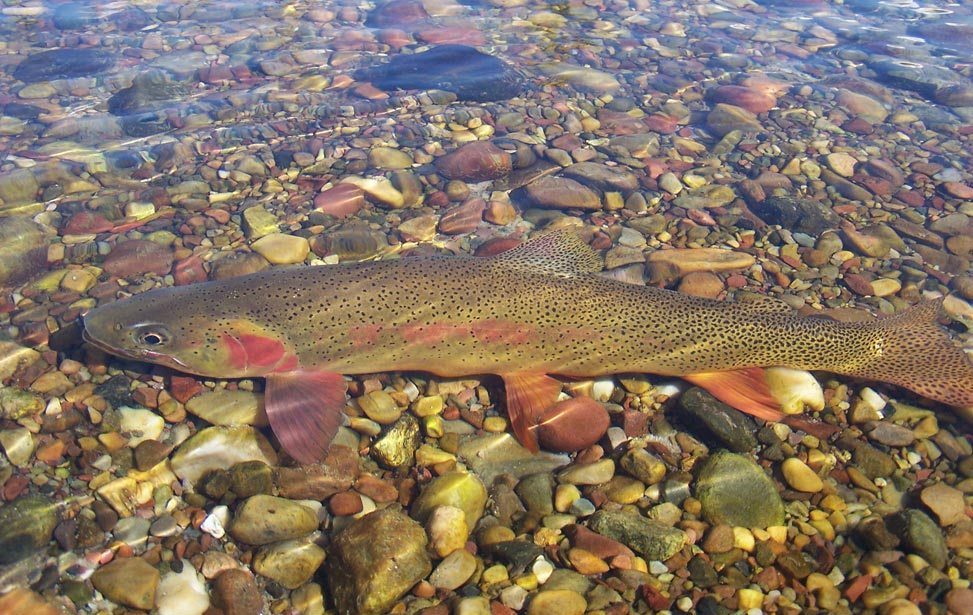 Wyoming guided fly fishing trips - Cuttroat Trout fishing