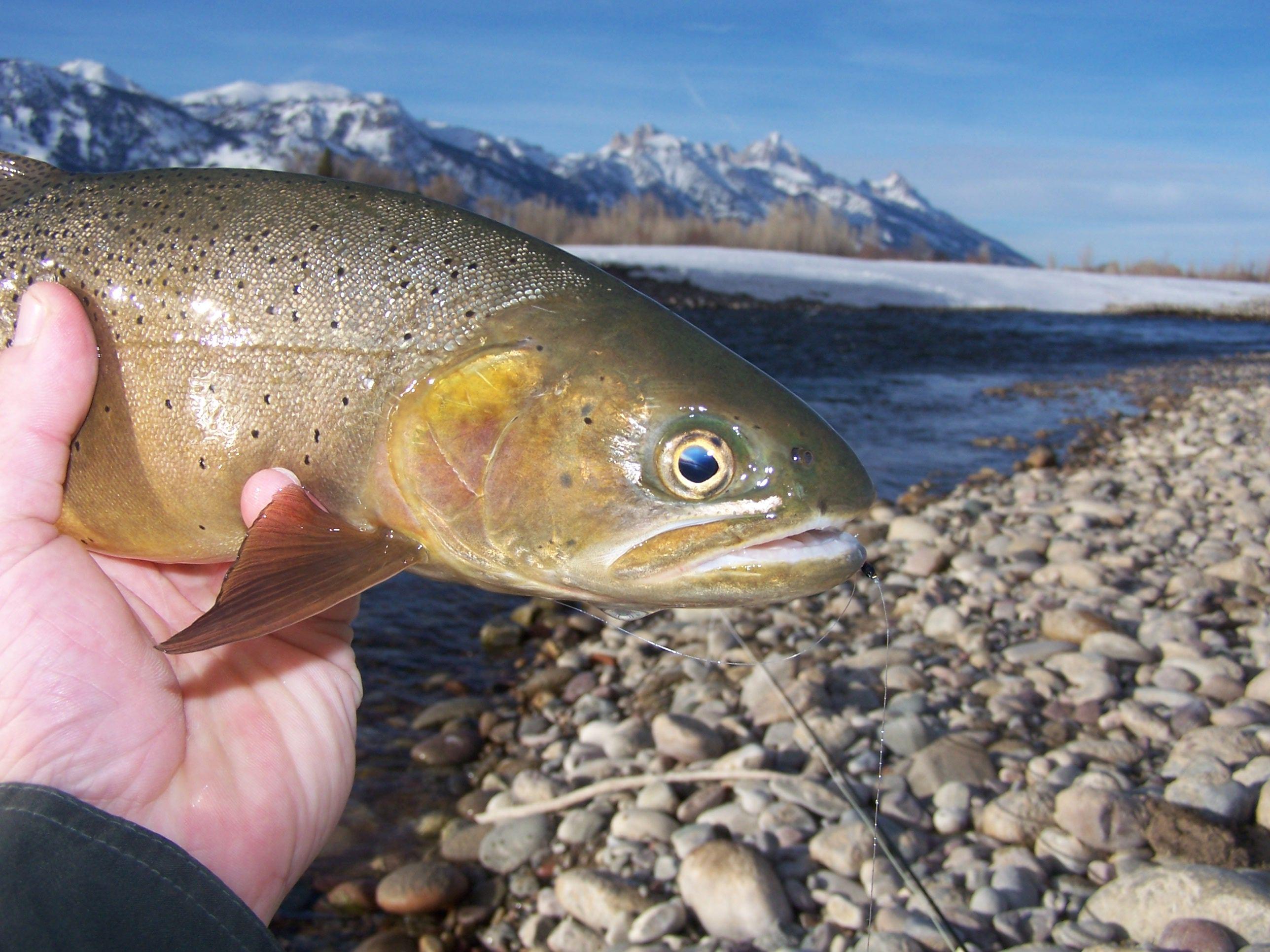 Jackson hole winter fly fishing for Jackson hole fly fishing
