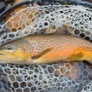 Yellowstone brown trout October