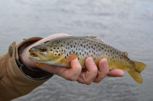 Yellowstone brown trout